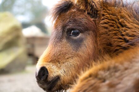 Portrait of a nice shetland pony, head detail, the best photo, Equus caballus. 免版税图像
