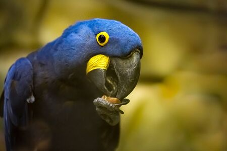 Portrait blue hyacinth macaw Anodorhynchus hyacinthinus on perch eating a nut, the best photo
