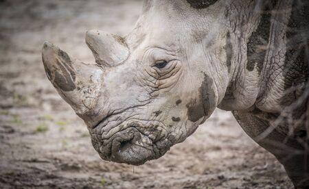 Ceratotherium simum cottoni, Ceratotherium simum simum, Diceros bicornis michaeli, white rhino, are critically endangered species, beautiful and rare animals, the best photo