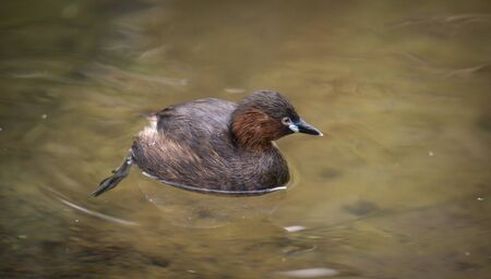 Little Grebe swimming in a lake, Tachybaptus ruficollis. Wildlife scene from nature, the best photo