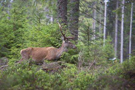 Deer, Cervus elaphus, with antlers growing on velvet.A huge deer in deep spruce forest. Wild animals in spring . The best photo.