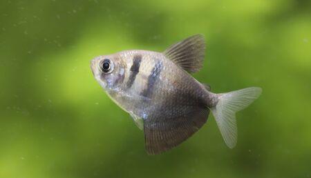 Gymnocorymbus ternetzi. Tropische Fische schwimmen im Aquarium, the best photo