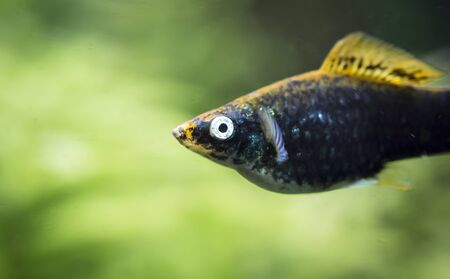 Xiphophorus hellerii. Tropische Fische schwimmen im Aquarium, the best photo Banco de Imagens