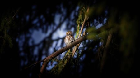 Glaucidium passerinum sits on a branch at night and looks at the prey, attractive owl portrait, the best photo