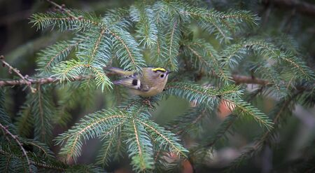 goldcrest sitting on the spruce twig Regulus regulus European smallest songbird in the nature habitat. The goldcrest is a very small passerine bird in the kinglet family. The best photo