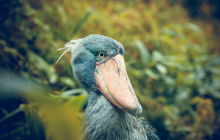Very rare the shoebill Balaeniceps rex also known as whalehead, whale-headed stork, or shoe-billed stork in Prague zoo, the best photo.