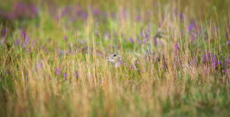ground squirrel runs and observes the surroundings in the meadow, the best photo