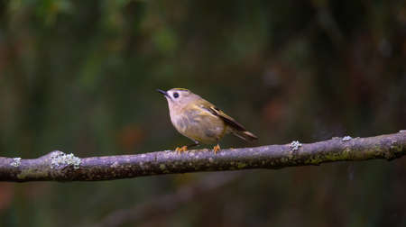 Goldcrest sitting on a branch in autumn color. The best photo