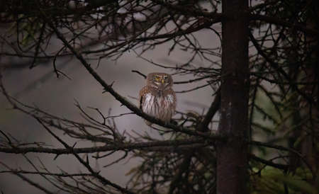 Glaucidium passerinum sits on a branch at night and looks at the prey, the best photo