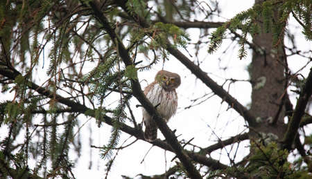 Glaucidium passerinumsitting on a branch in a tree and looking out for prey, the best photo