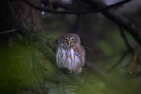 Glaucidium passerinum sits on a branch at night and looks at the prey, the best photo 版權商用圖片