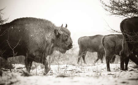 European bison resting on a snow meadow, the best photo.