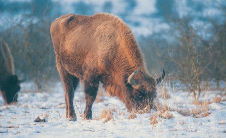 European bison resting on a snow meadow, the best photo. Reklamní fotografie