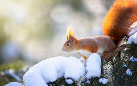 Beautiful squirrel on a snowy tree branch, the best photo.