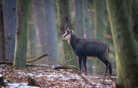 A chamois cub lost in the woods looking for a way, the best photo.