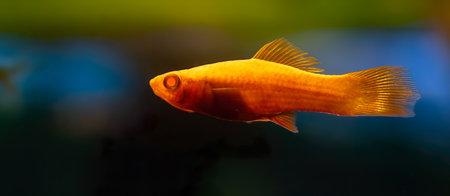 Xiphophorus hellerii Vienna. Tropical fish swimming in the aquarium, the best photo