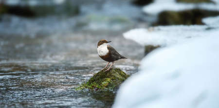 The white throated dipper Cinclus cinclus sitting on a stone and looking for food in winter, the best photo. Stock fotó