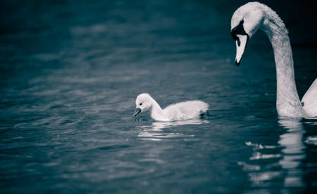 Young swans watch their mother as they hunt for food. The best photo.