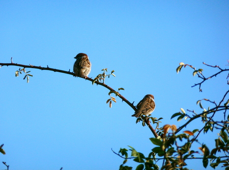 Photo of two Eurasian tree sparrows sitting on a branch