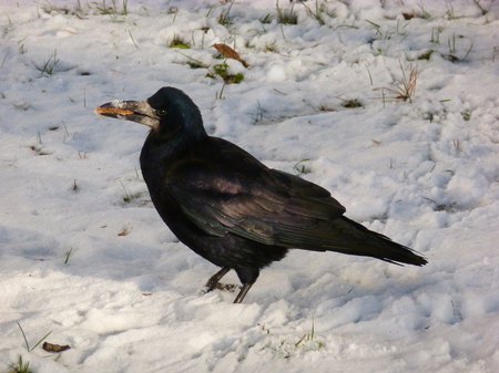 Photo of a rook with a piece of bread in the ITS beak