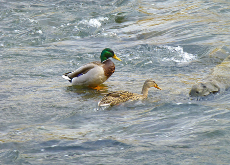 Photo of two ducks standing in the shallow water