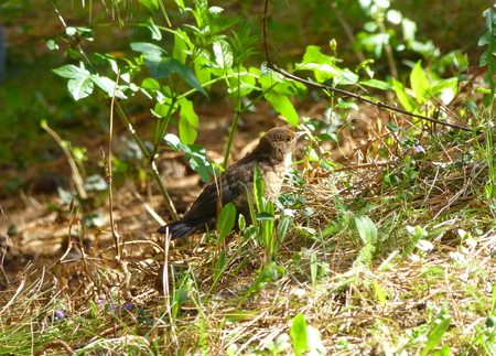 turdus: Photo of a female blackbird in the grass