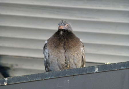 Photo of a pigeon fledgling sitting on a piece of metal 版權商用圖片