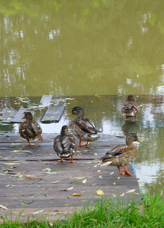 Photo of several wild ducks standing next to the water Banco de Imagens