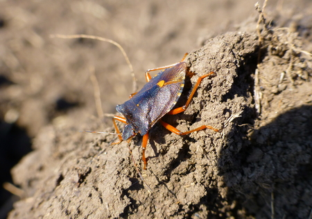 Photo of a red-legged shieldbug standing on the dirt Stock Photo