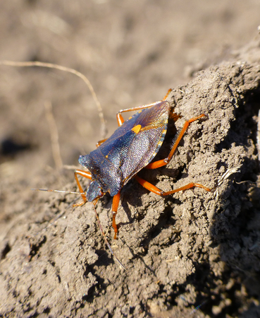 Photo of a little shieldbug standing on the dirt Stock Photo