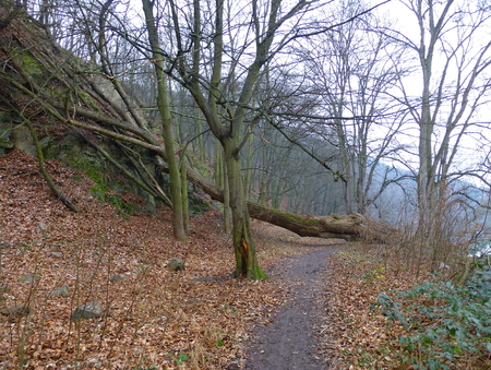 Photo of a large uprooted tree blocking a dirt path