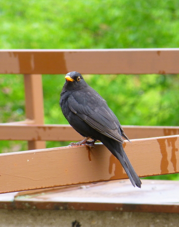 Photo of a male common blackbird on the brown metal railing