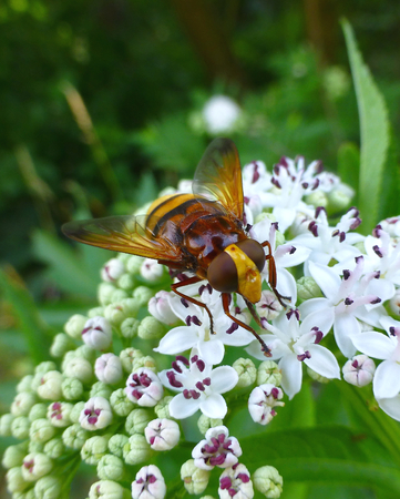 Photo of a beautiful hornet mimic hoverfly sitting on a white flower