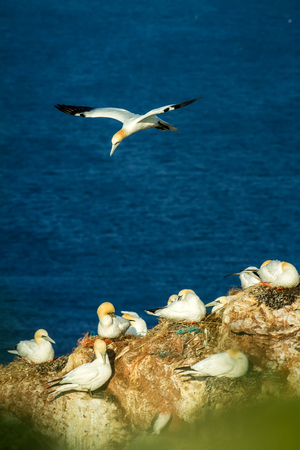 Northern Gannet Morus bassanus, mating gannets on cliffs, Helgoland in Germany, bird colony, bird landing in the colony, nesting birds with water surface in the background