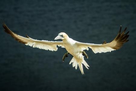 Northern Gannet (Morus bassanus), northern gannet in flight, Scotland, bird colony, beautiful birds, nesting birds on cliffs, birds in flight with sea as a background