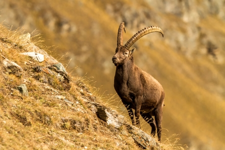 Alpine Ibex, Capra ibex, with autumn orange larch tree in background, National Park Gran Paradiso, Italy. Autumn in the mountain. Mammal, herbivorous