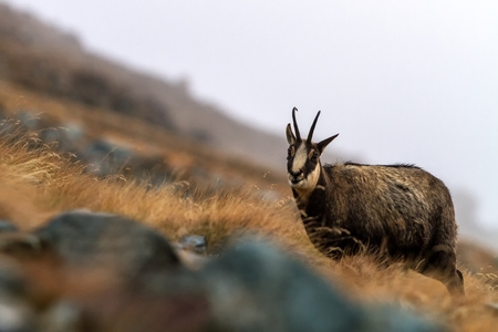 Chamois, Rupicapra rupicapra, on the rocky hill with autumn grass, mountain in Gran Paradiso, Italy. Autumn in the mountains. Mammal, herbivorous, wildlife scene Banque d'images