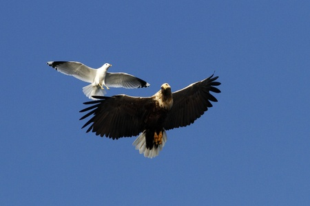 White-tailed eagle in flight being chased by seagull,Norway,Haliaeetus albicilla, majestic sea eagle with big claws on blue sky background, wildlife scene