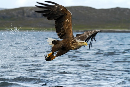 White-tailed eagle in flight, eagle with a fish which has been just plucked from the water, Norway,Haliaeetus albicilla, eagle with a fish flies over a sea, majestic sea eagle, wildlife scene