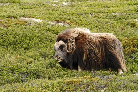 Muskox (Ovibos moschatus). Musk ox bull peacefully standing on grass in Greenland. Mighty wild beast. Overcast, big animal with horns in the nature habitat