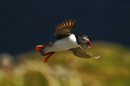 Atlantic puffin with small fish in its beak flying against dark blue sea and cliffs. Close up photo. Wild bird with colourful beak and outstretched wings, sandeels, Norway Stockfoto