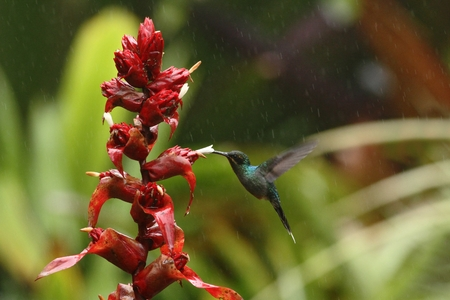 Green hermit, hovering next to red flower in garden, bird from mountain tropical forest, Venezuela, hummingbird flying in the rain, natural habitat, beautiful bird flying among water drops 版權商用圖片