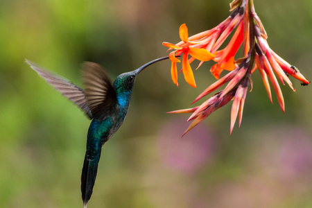 Green hermit, hovering next to orange flower, bird from mountain tropical forest, Costa Rica, beautiful hummingbird sucking nectar from blossom, bird in flight, stretched wings