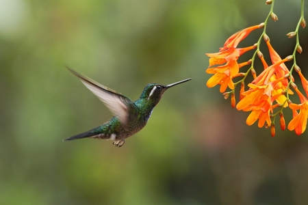 White-throated Mountaingem - Lampornis castaneoventris hovering next to orange flower, bird from mountain tropical forest, Waterfall Gardens La Paz, Costa Rica, beautiful hummingbird sucking nectar from blossom Reklamní fotografie - 114609479