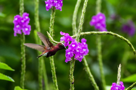 Snowcap, flying next to violet flower, bird from mountain tropical forest, Costa Rica, natural habitat, beautiful small endemic hummingbird, scene from nature, flying gem, unique bird with white head