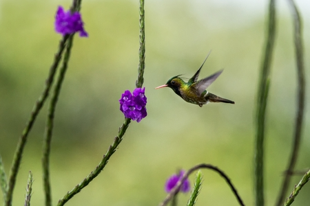 Black-Crested Coquette - Lophornis helenae, hovering next to violet flower in garden, bird from mountain tropical forest, Costa Rica, natural habitat, beautiful hummingbird, wildlife, flying gem Foto de archivo