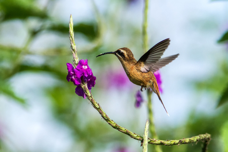 Stripe-throated Hermit - Phaethornis striigularis, hovering next to violet flower in garden, bird from mountain tropical forest, Costa Rica, natural habitat, beautiful hummingbird, wildlife, nature, flying gem, clear background