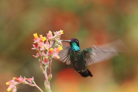 Magnificent Hummingbird hovering next to red and yellow flower, bird in flight, mountain tropical forest, Costa Rica, natural habitat, beautiful hummingbird sucking nectar, colouful background Reklamní fotografie