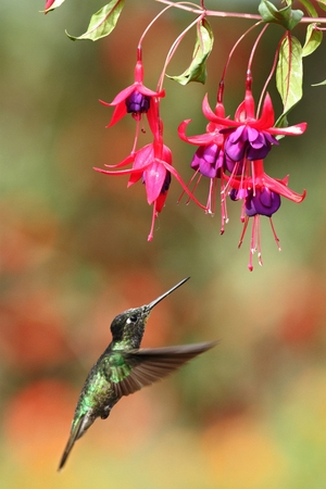 Magnificent Hummingbird hovering next to pink flower, bird in flight, mountain tropical forest, Costa Rica, natural habitat, beautiful hummingbird sucking nectar, colouful background Reklamní fotografie