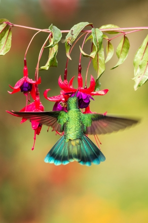Green violetear hovering next to red and yellow flower, bird in flight, mountain tropical forest, Costa Rica, natural habitat, beautiful hummingbird sucking nectar, colouful background